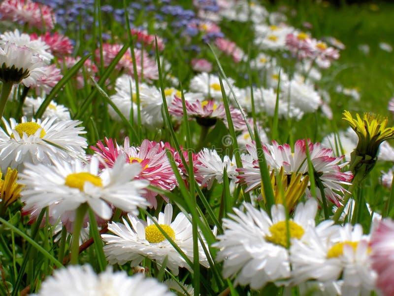 daisy kwiaty obraz stock