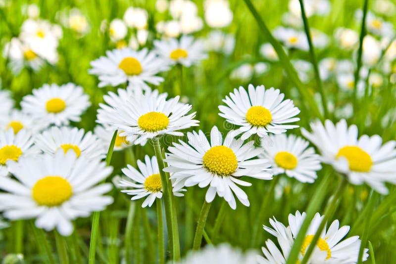 daisy kwiaty zdjęcia royalty free