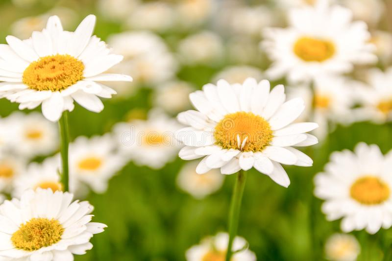 daisy kwiaty zielona ??ka Selekcyjna ostro?? obraz royalty free