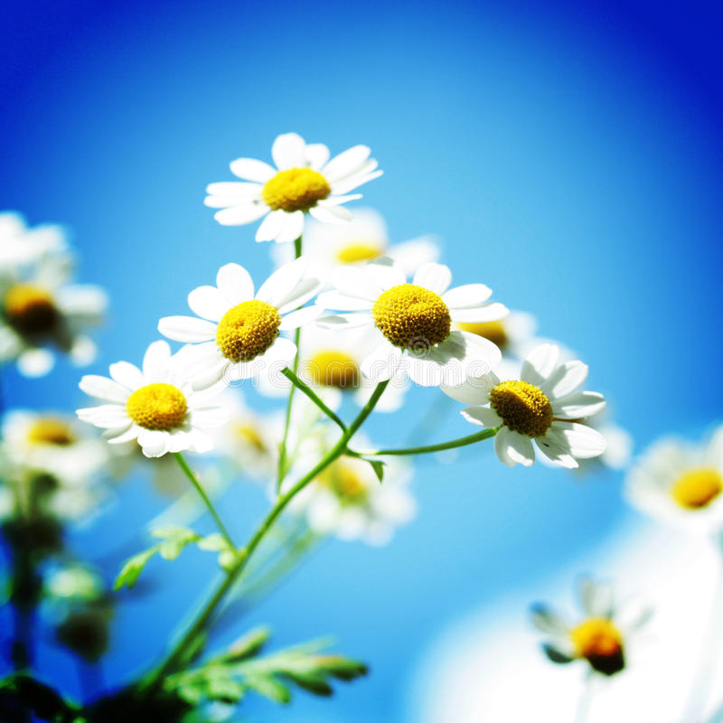 Daisy like flowers with a blue background. Daisy like flowers shinning with a blue background stock photography