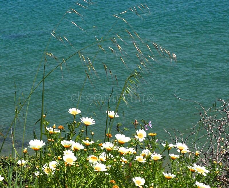 Daisy Like Flowers Growing Next, zum in Lagos Portugal auf den Strand zu setzen stockfotografie