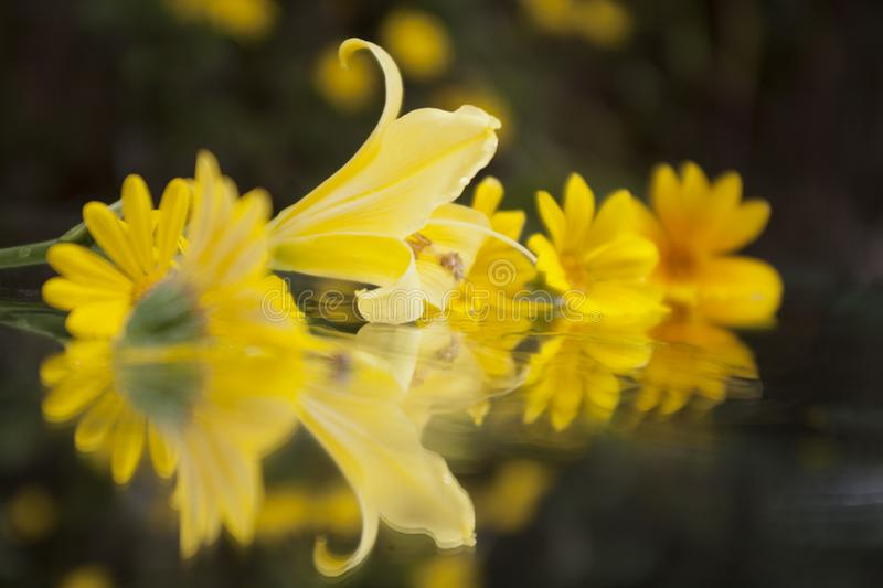 Daisy and lilies floating on Mirror royalty free stock photos