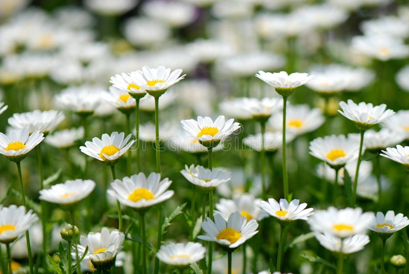 Daisy. A lot of daisy flowers stock image