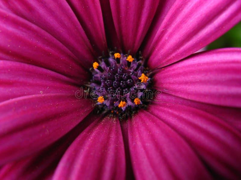 Daisy macro royalty free stock photography