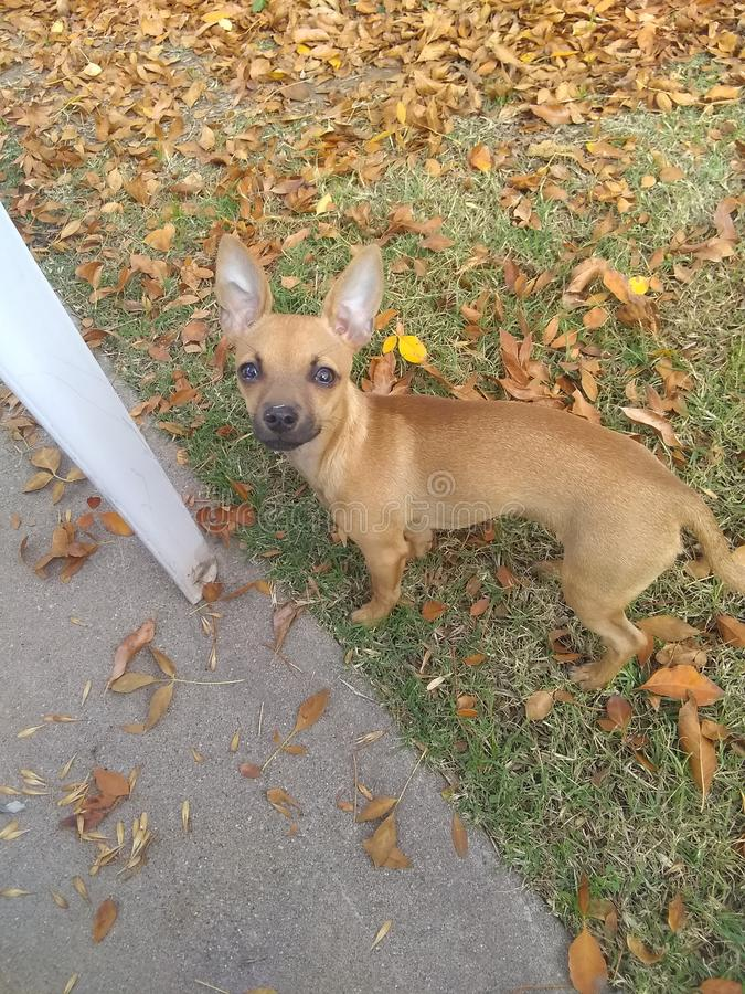 Daisy Mae fall. Puppy, leaves royalty free stock image
