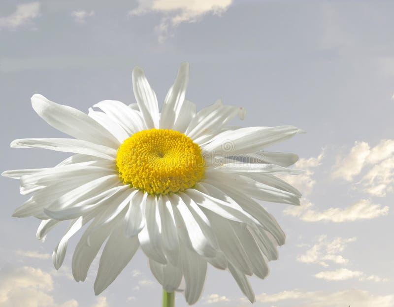 Daisy stock afbeelding
