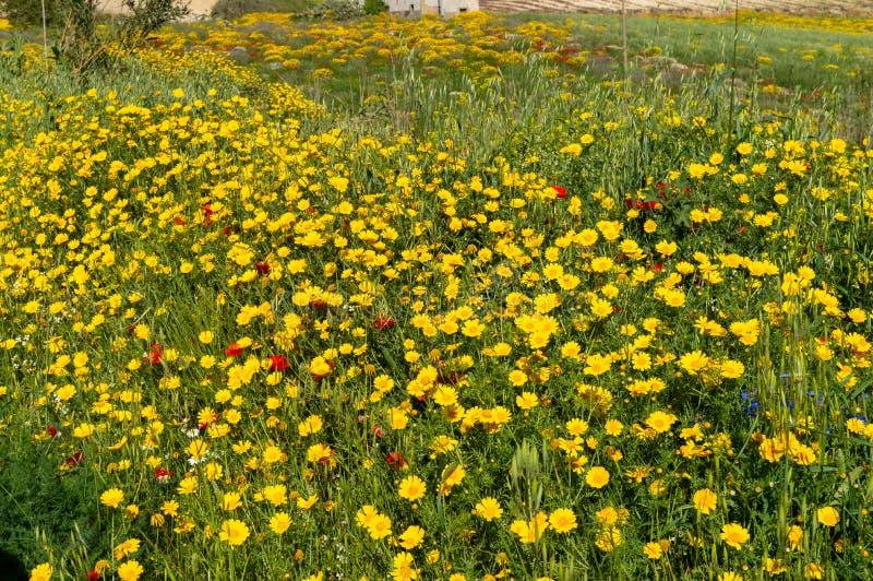 Daisy Meadow salvaje hermosa, paisaje siciliano, Mazzarino, Caltanissetta, Italia, Europa fotos de archivo libres de regalías