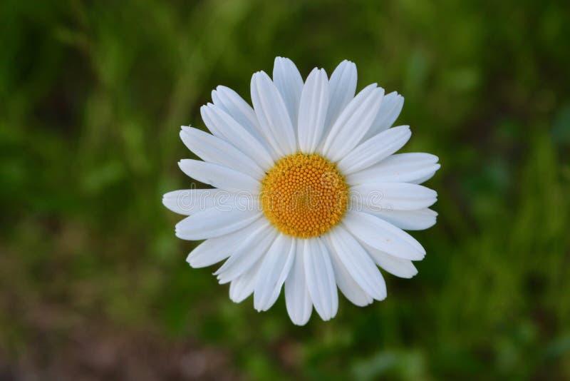 Daisy op een weide royalty-vrije stock afbeelding