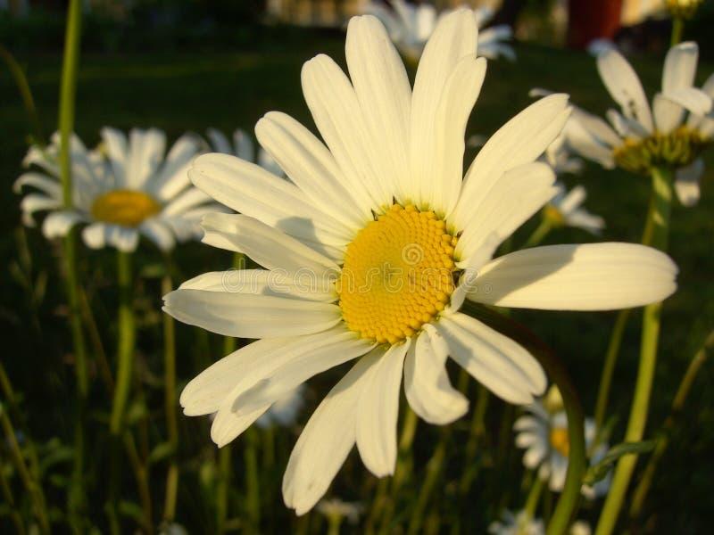daisy ox oka zdjęcia stock