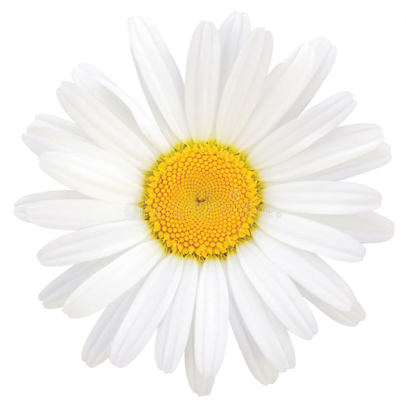 Daisy Oxeye Isolated Macro Closeup stockfotografie