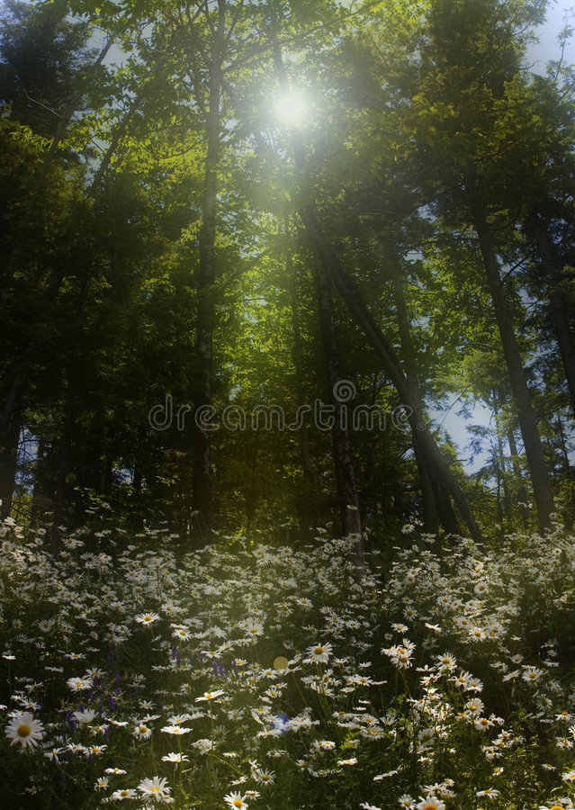 Daisy patch in the forest stock photography