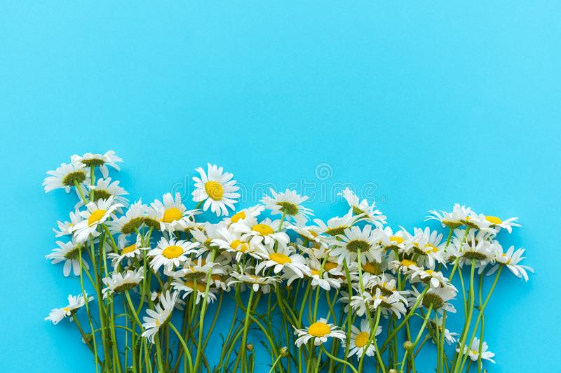 Daisy pattern. Daisy flowers a blue background. Top view royalty free stock photo