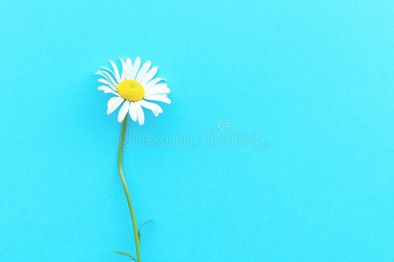 Daisy pattern. Flat lay spring and summer chamomile flowers on a blue background. Top view royalty free stock photo