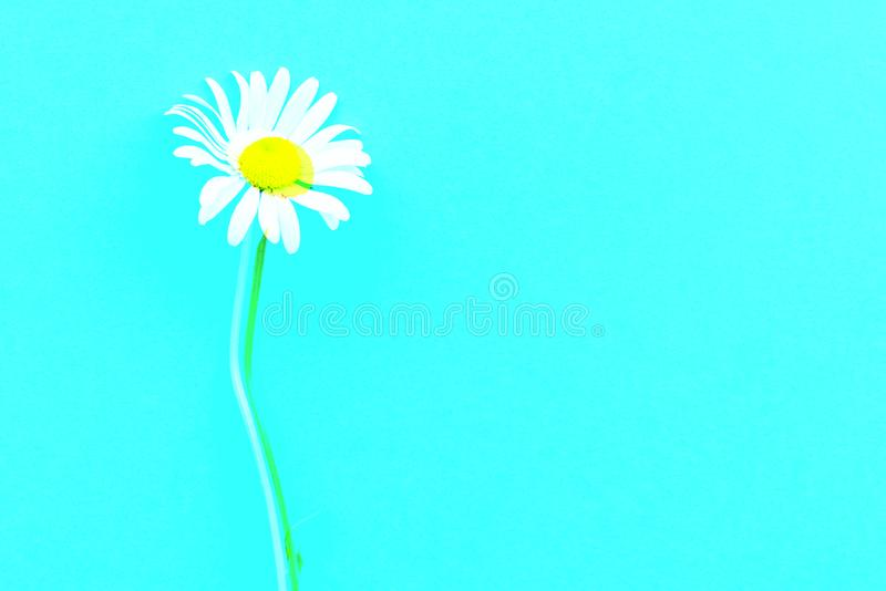 Daisy pattern. Flat lay spring and summer chamomile flowers on a blue background. Top view. Digital signal glitch effect rgb shi royalty free stock photography