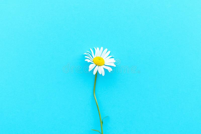 Daisy pattern. Flat lay spring and summer one flower chamomile on a blue background. Top view royalty free stock photography
