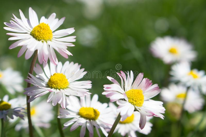 Daisy is first day of spring look like a a moon daisy and yellow eyes royalty free stock photography
