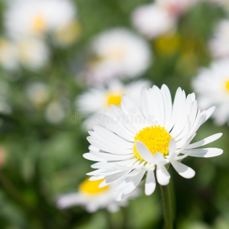 Daisy is first day of spring look like a a moon daisy and yellow eyes royalty free stock image