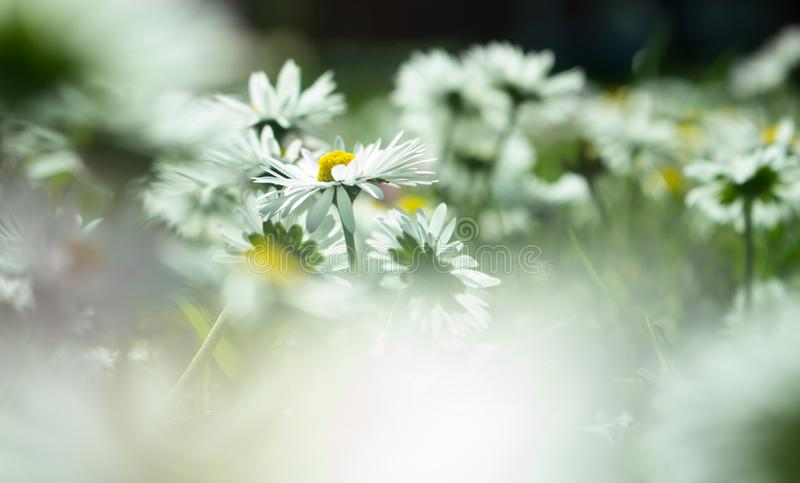 Daisy is first day of spring look like a a moon daisy and yellow eyes royalty free stock photos