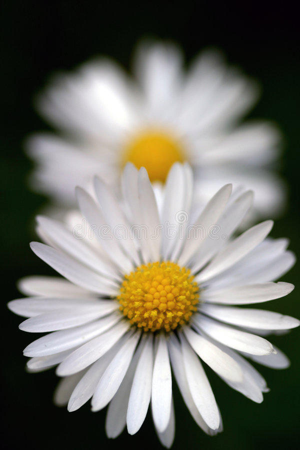 Daisy Perspective stock afbeelding