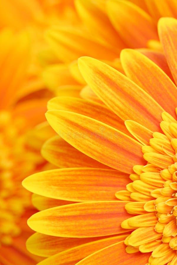 Daisy petals background royalty free stock photography