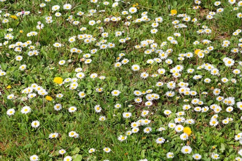 daisy Piękny bielu pole stokrotki kwitnie w ogródzie Wiosny i lata kwiatów tło i piękny naturalny środowisko obrazy stock