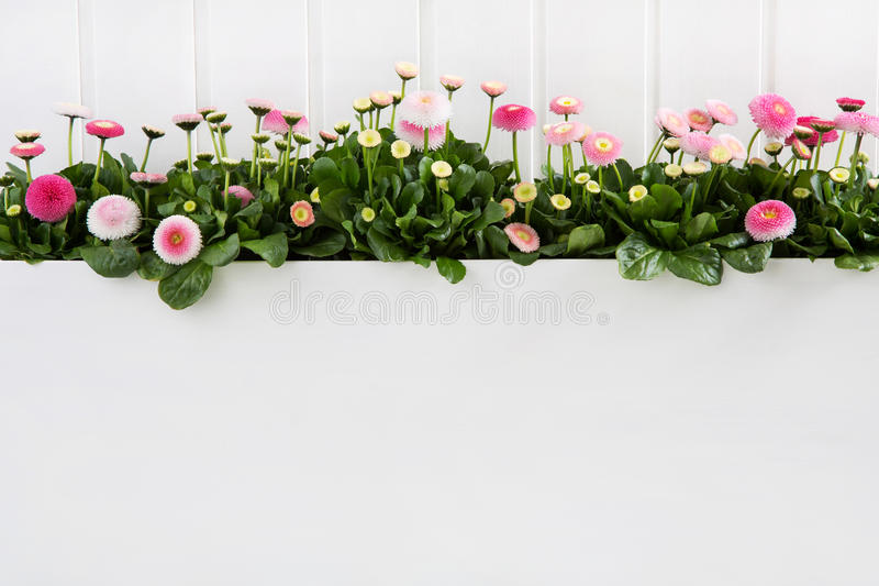 Daisy pink spring time flowers on white wooden background for de stock images