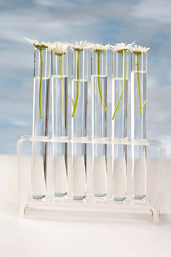 Daisy plants growing in testing tubes stock photos