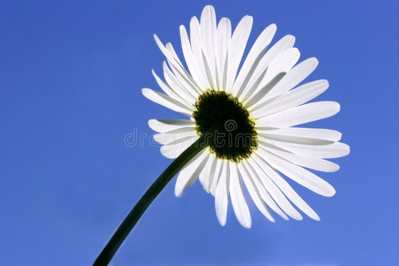 daisy pod spodem obraz stock