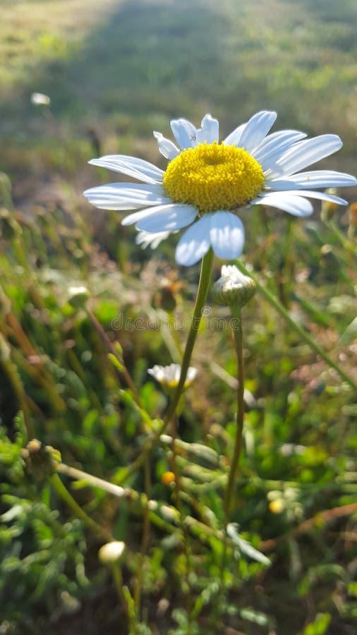 daisy pojedyncza fotografia stock