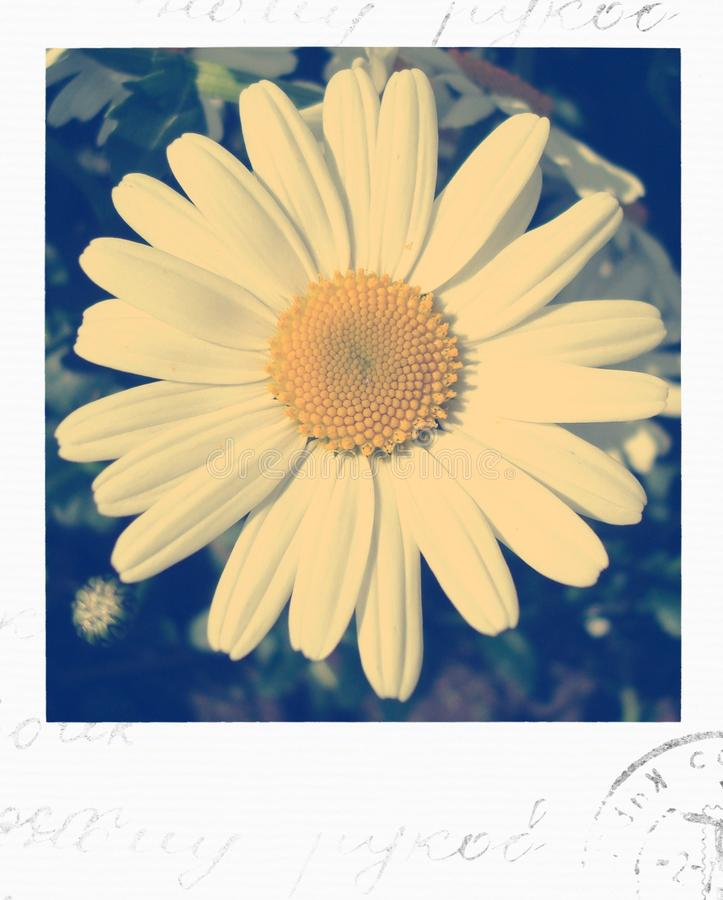 Daisy polaroid photo stock image