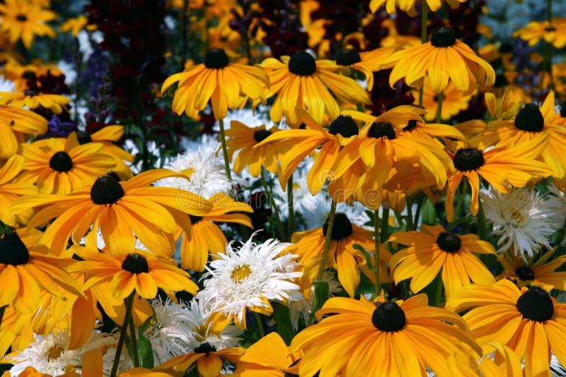 daisy pole zdjęcie royalty free