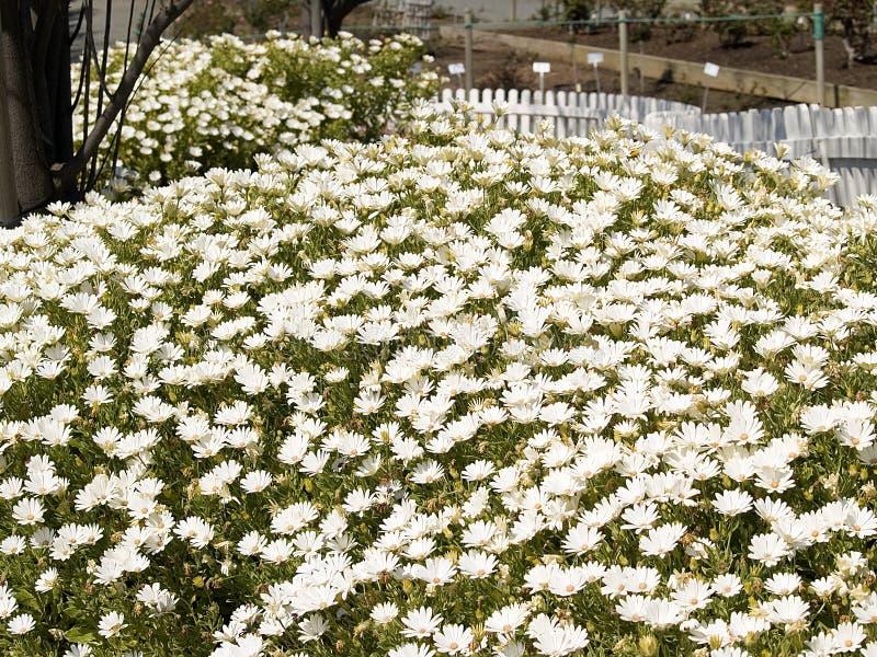 daisy pole obraz stock
