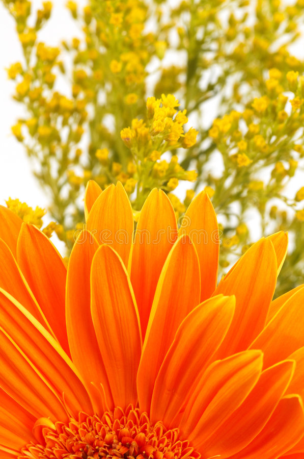 daisy pomarańcze obraz royalty free