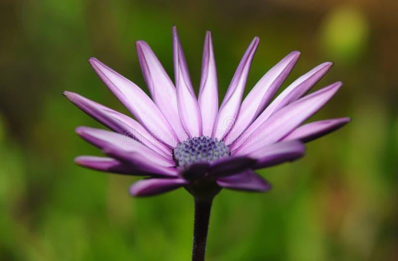 Daisy purple awakening stock photo