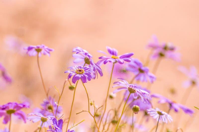 daisy purpurowe obrazy royalty free