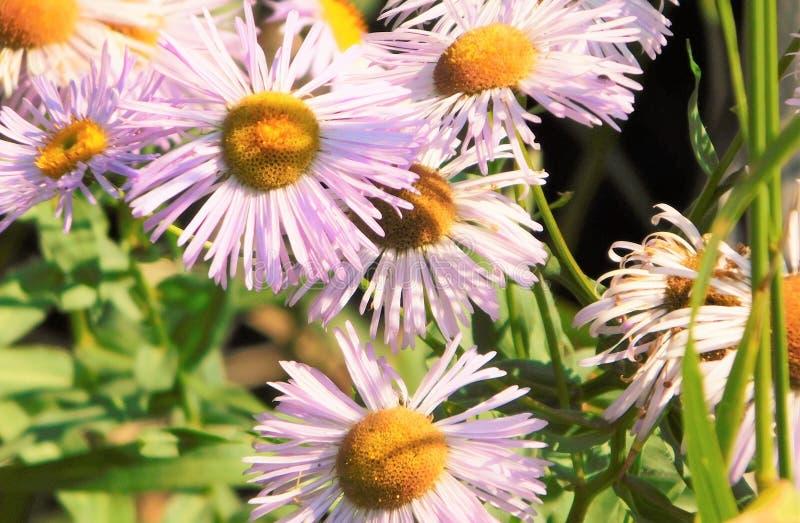 daisy purpurowe fotografia royalty free
