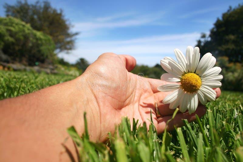 daisy ręka zdjęcia royalty free