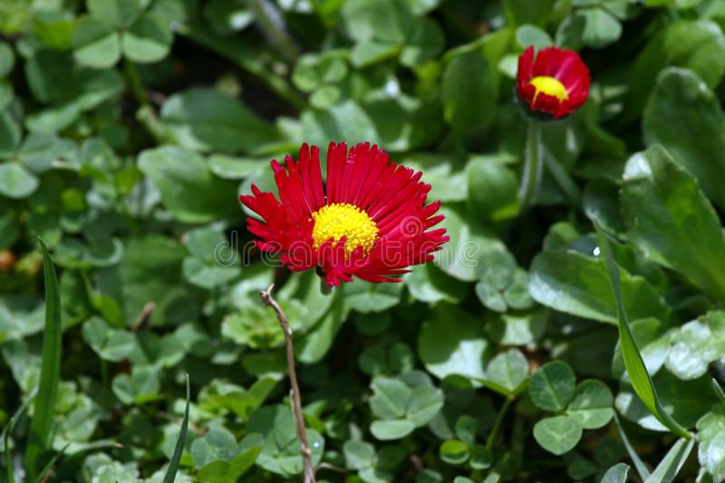 Daisy. Red Daisy flowers in spring on a meadow in green grass in nature. Marguerite flowers. Floral pattern. Coin flower. Spring. royalty free stock images