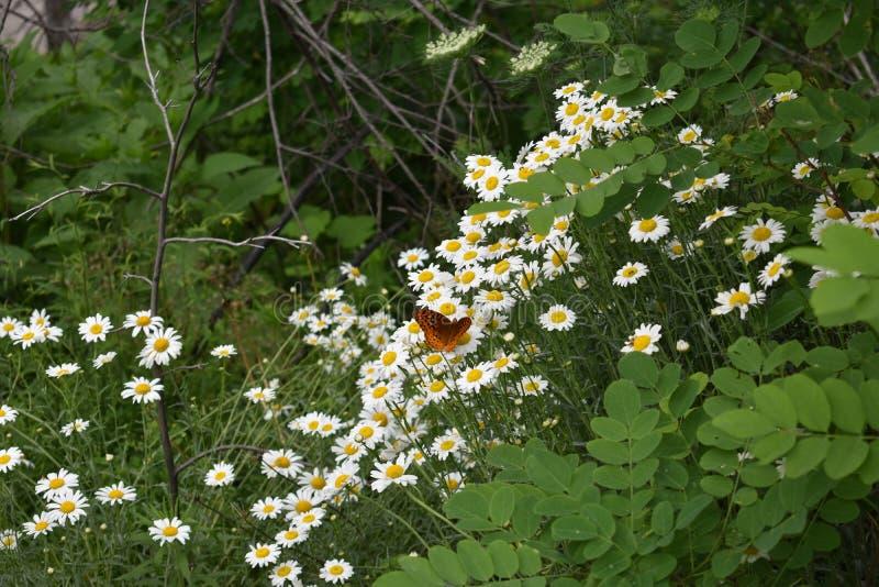 Daisy ` s in het Rokerige Berg Nationale Park stock foto's