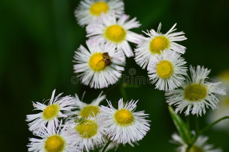 Daisy ` s met Kleine Bij royalty-vrije stock foto's