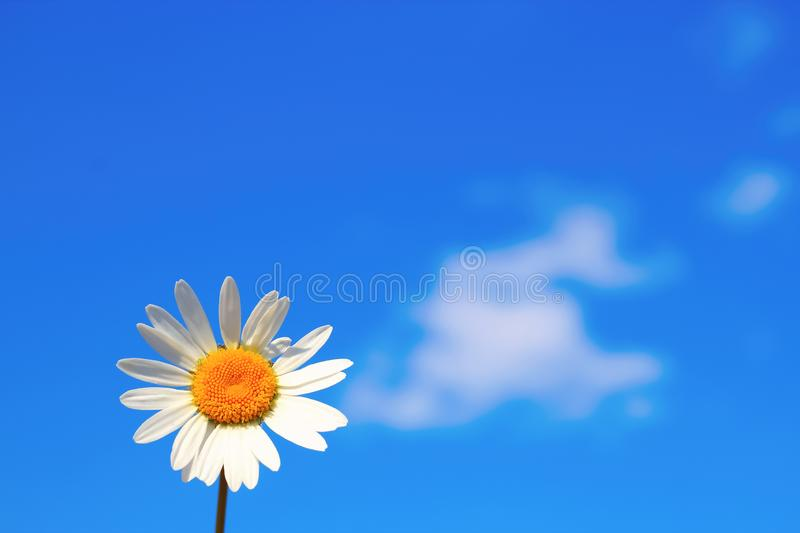 Daisy single flower chamomile isolated on blue sky background. Copy space royalty free stock image