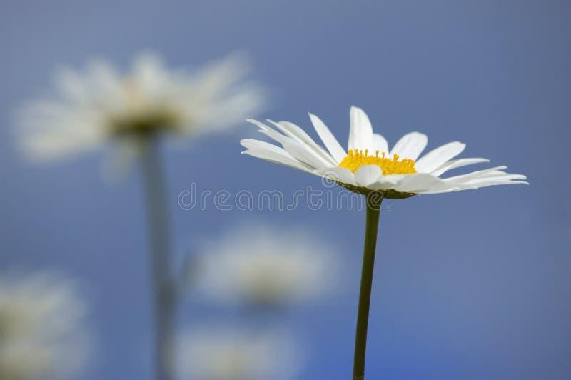 Daisy in the sky royalty free stock photos