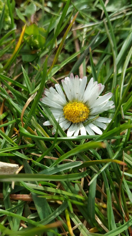 Daisy. Small daisy flashes in the green grass royalty free stock images