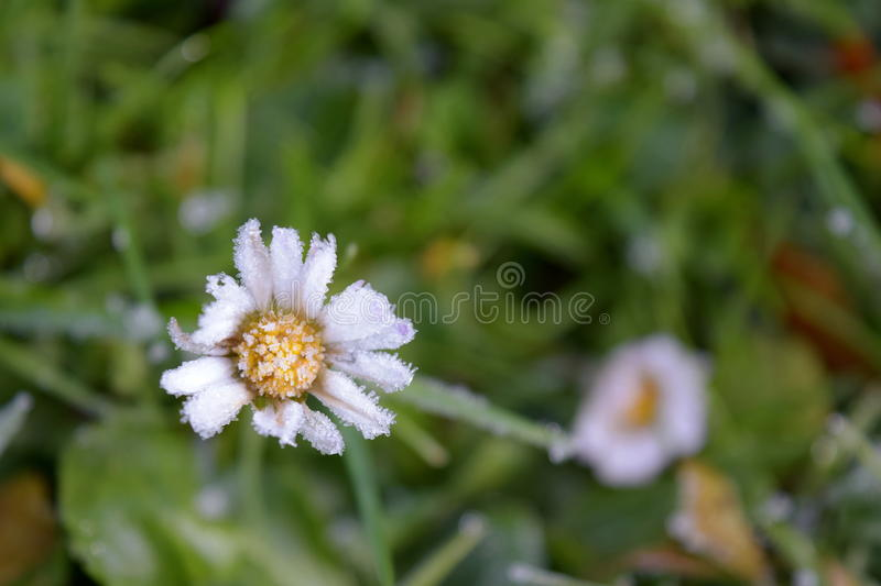 Daisy in the snow royalty free stock photo