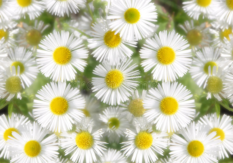 Daisy soft royalty free stock image