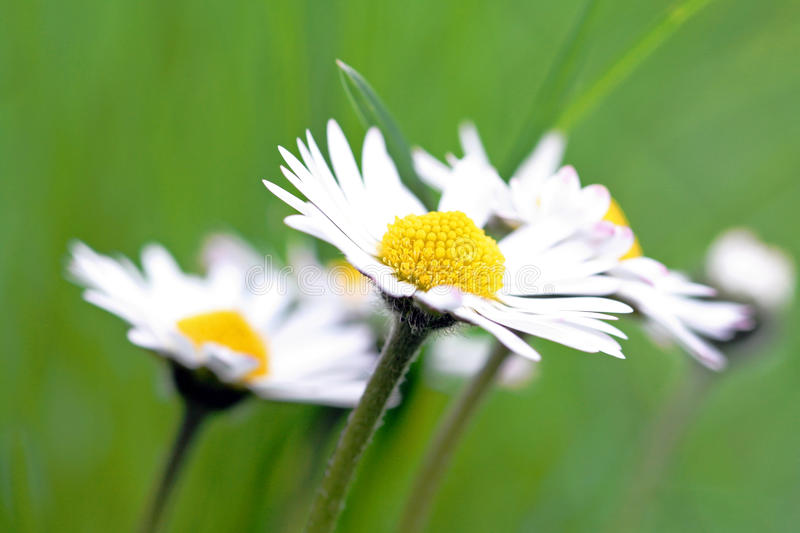 A daisy in the spring royalty free stock image