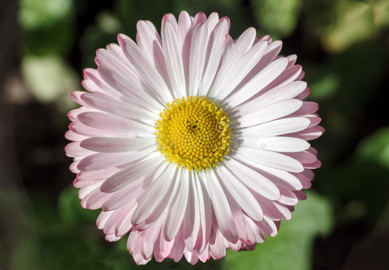 Daisy in spring field. Bellis perennis small flower, top view royalty free stock image