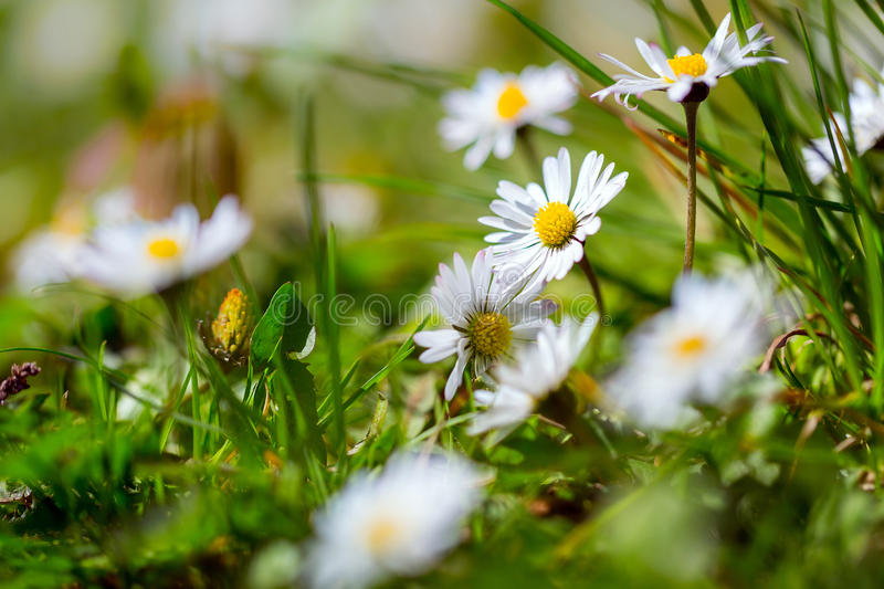 Download Daisy spring flowers stock photo. Image of grass, botany - 40375672