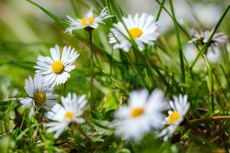 Download Daisy spring flowers stock photo. Image of head, environment - 40375706