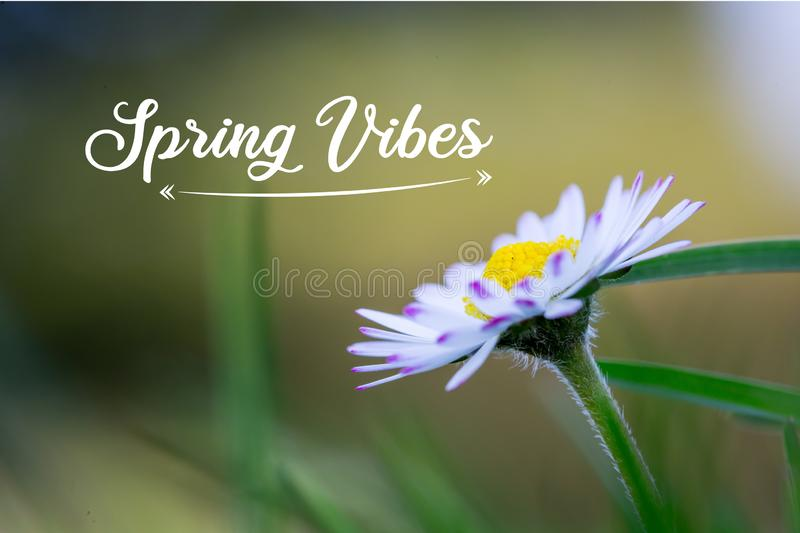 """Daisy in springtime: Close up picture, Text """"Spring Vibes stock photography"""